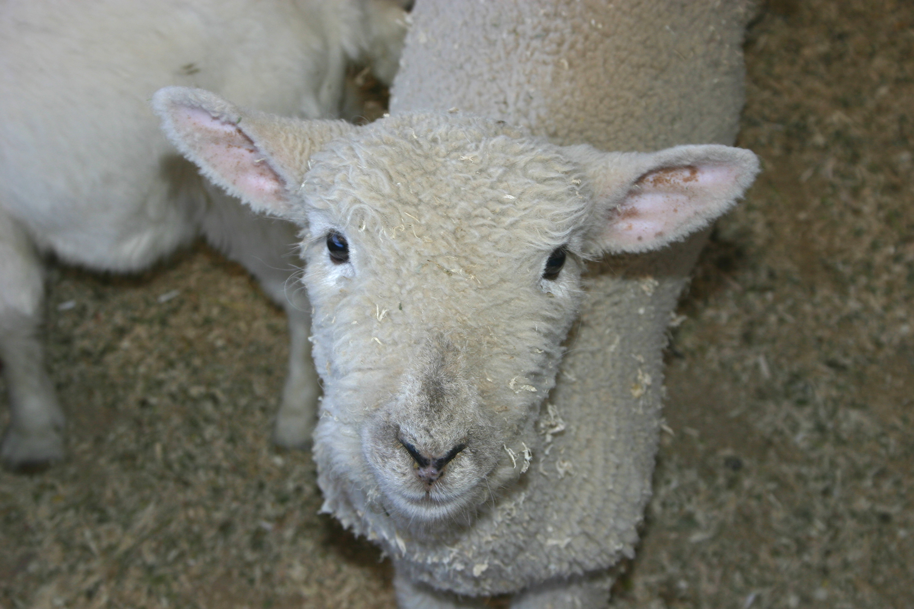 sheep pic from morguefile.com