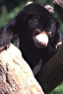 sun bear pic from OR zoo site