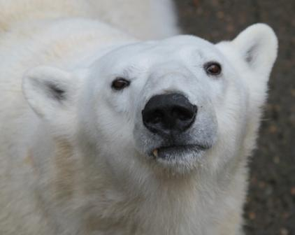 tasul the polar bear