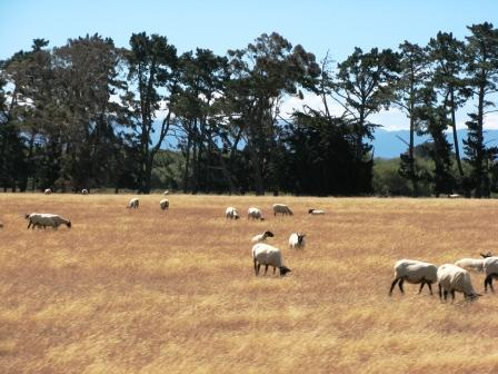 more NZ sheep